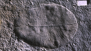 Analysis of a fossil of Dickensonia Tenuis, over 500 million years old suggests it is related to the Metazoa or animals group.